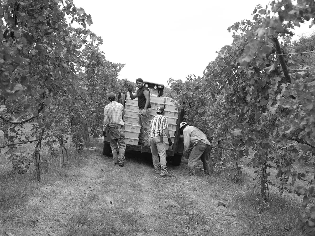 Harvest Grapes & People pic 549