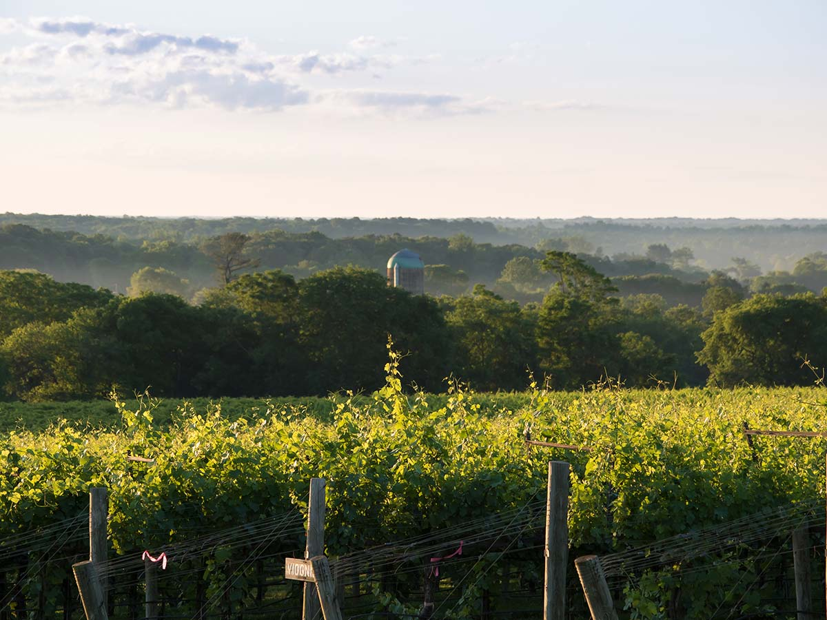 Main Vineyard pic 595
