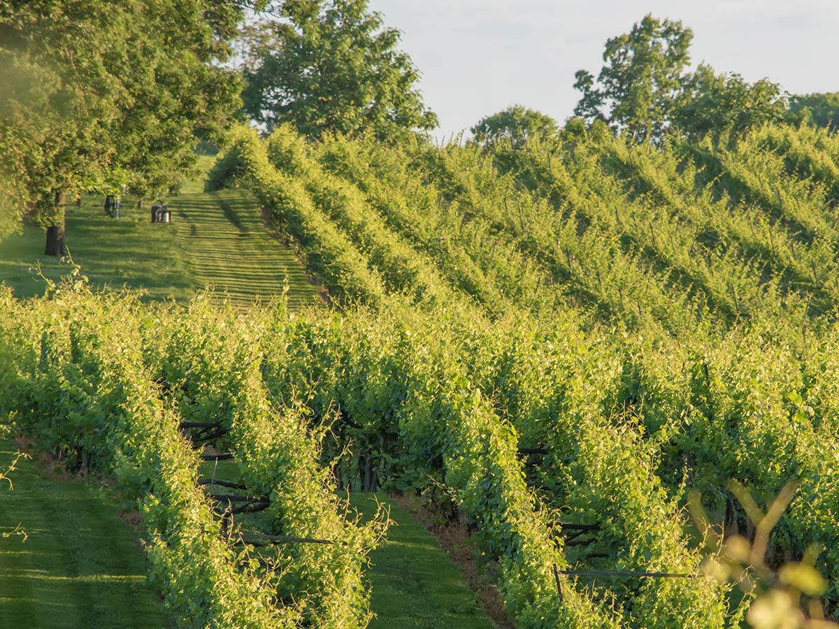 Main Vineyard pic 600